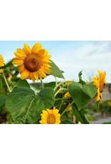 Seeds - Sunflower Dwarf Sunspot Organic