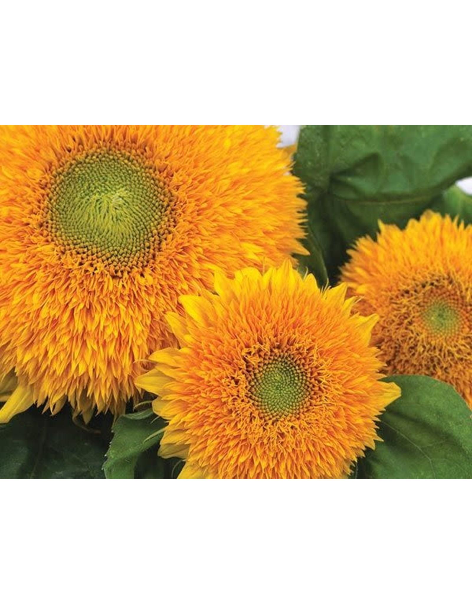 Seeds - Sunflower Dwarf Teddy Bear