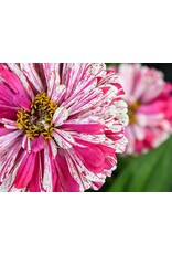 Seeds - Zinnia Peppermint Stick