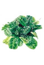 "Prayer Plant - Maranta Leuconeura 'Green' 4"""
