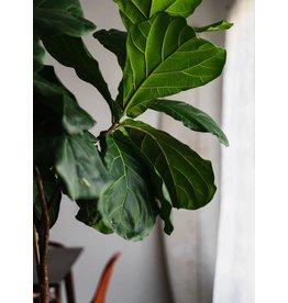 """Fiddle Leaf Fig - 10"""" Standard"""