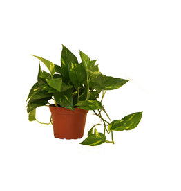 "Pothos - 'Golden' 8"" Hanging Basket"