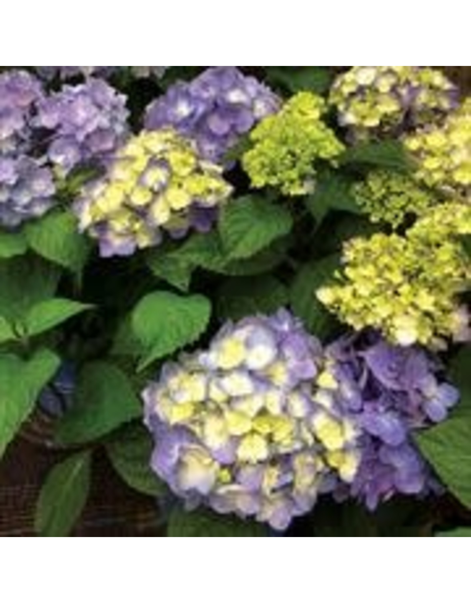 Hydrangea - Hydrangea Macrophylla 'Endless Summer Bloomstruck' 2 Gallon