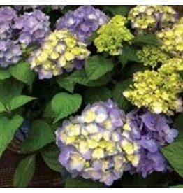Hydrangea - 'Endless Summer Bloomstruck' 2 Gallon
