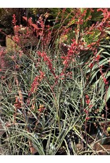 Red Yucca - Hesperaloe Parviflora - 3 Gallon
