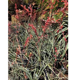 Red Yucca - 3 Gallon