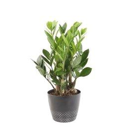 """ZZ Plant - 4"""""""