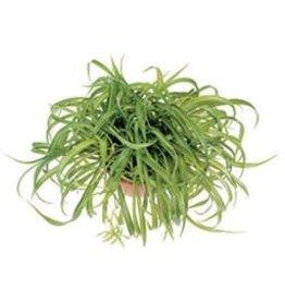 """Spider Plant - Hanging Basket -10"""""""