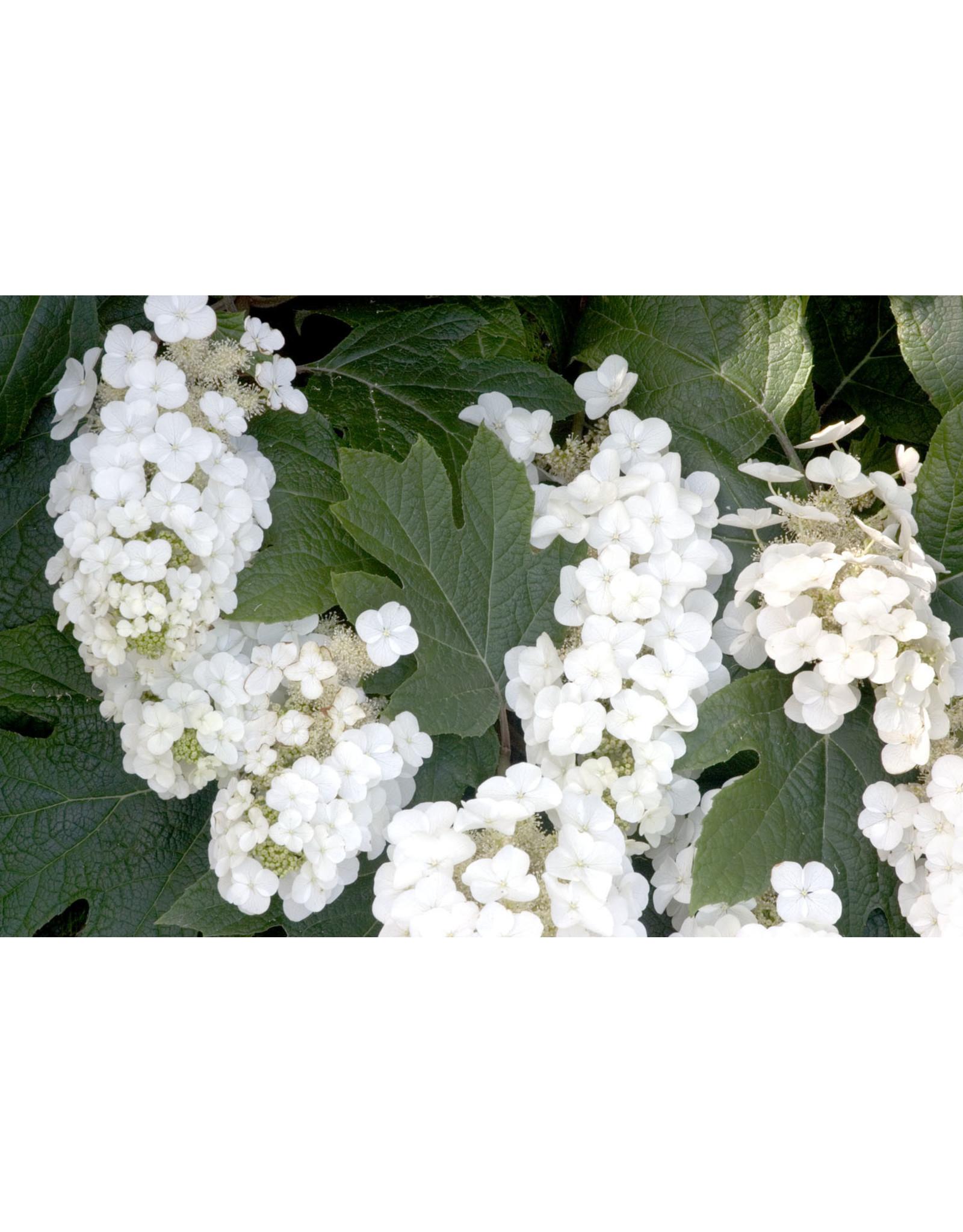 Oakleaf Hydrangea - Hydrangea Quercifolia 'Alice' 3 Gallon