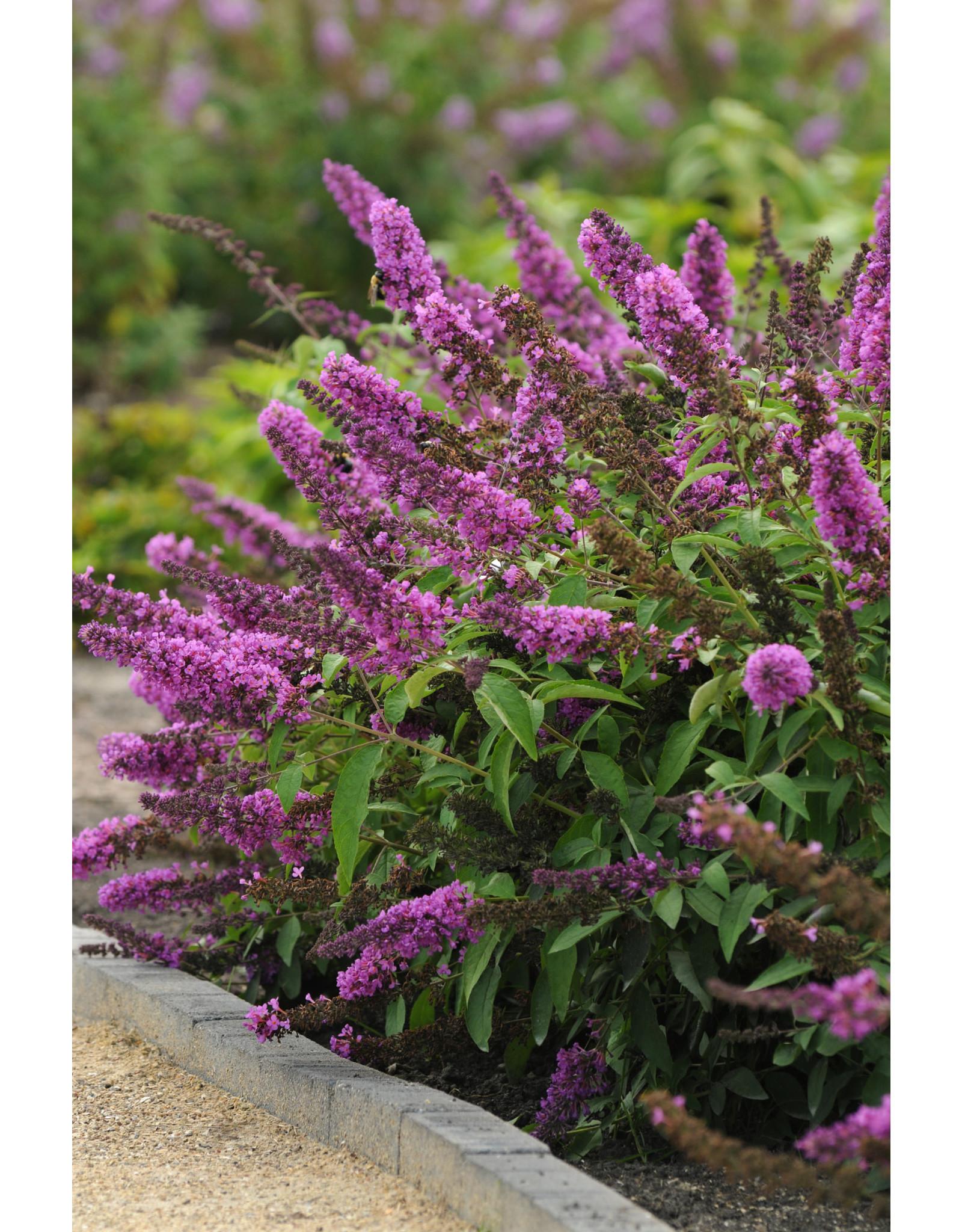 Butterfly Bush - Buddleia 'Tutti Fruitti Pink' #1