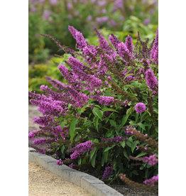 Butterfly Bush - 'Tutti Fruitti Pink' 1 Gallon