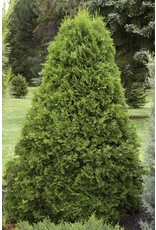 Arborvitae, Emerald Green - Thuja Occidentalis 'Smargard' #5