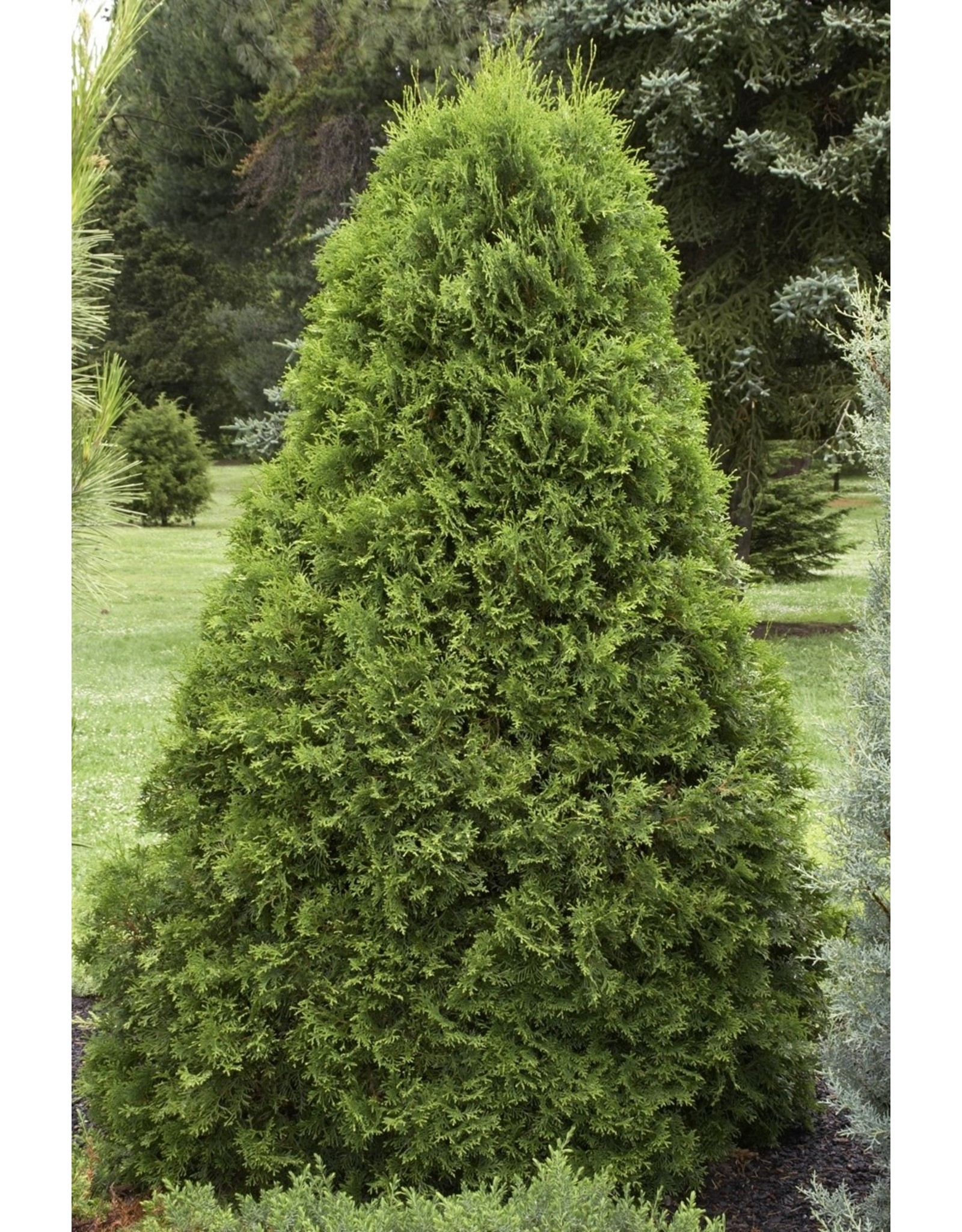 Arborvitae, Emerald Green - Thuja Occidentalis 'Smargard' 5 Gallon