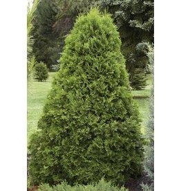 Arborvitae, Emerald Green - 'Smargard' 5 Gallon