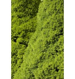 Spruce, Dwarf Alberta - 'Conica' 5 Gallon