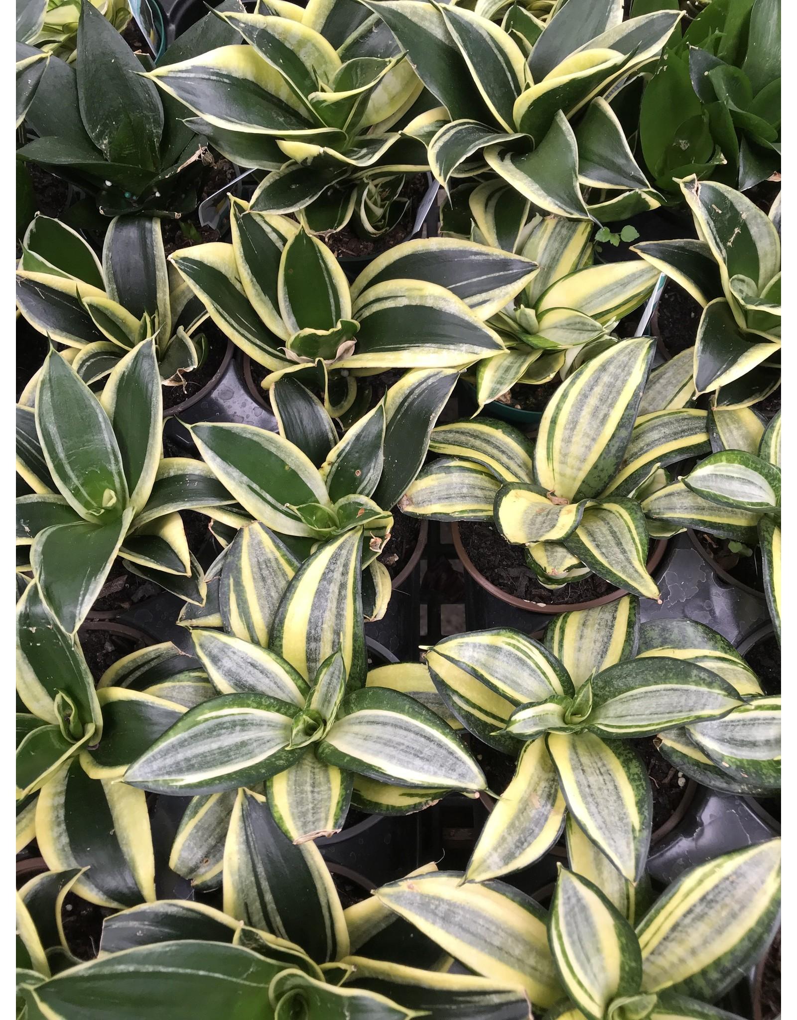 """Snake Plant - Sansevieria Trifasciata Assorted 4"""""""