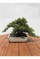"Bonsai Juniper - Juniper Chinensis 'Blue Point' 10"""