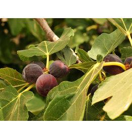 Fig, Edible - 'Chicago Hardy' 3 Gallon