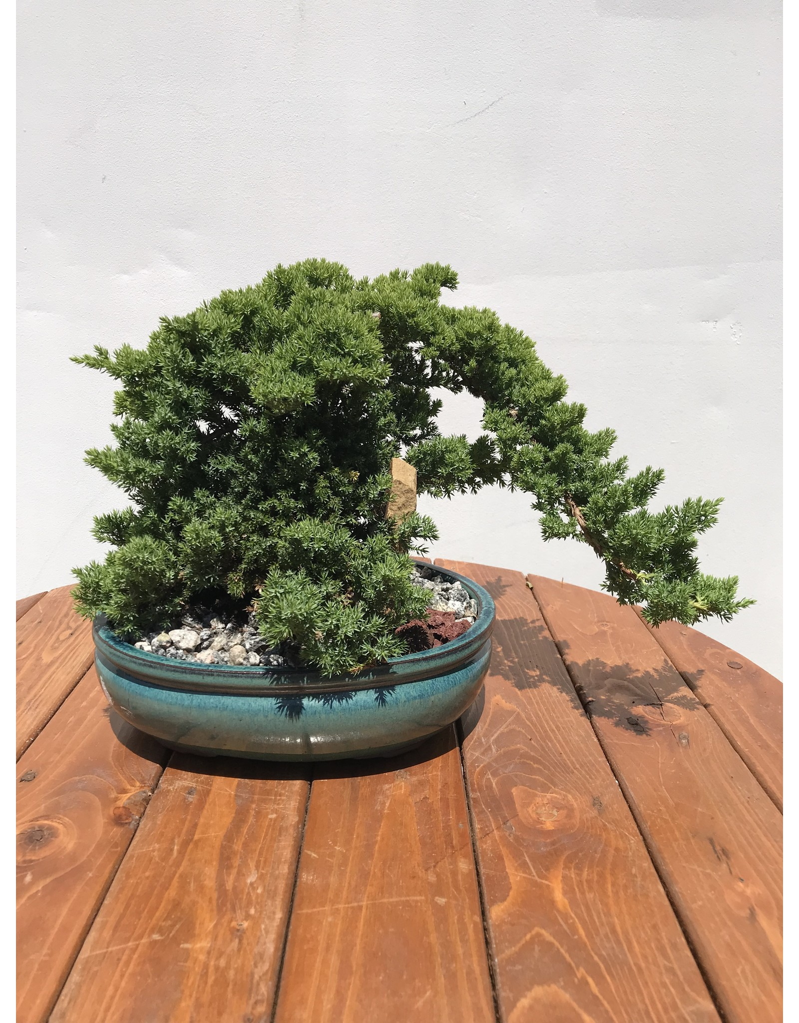 "Bonsai, Juniper- Juniper Chinensis 'Blue Point' 12"""