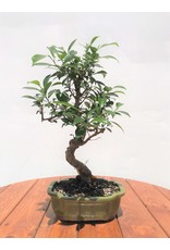 Bonsai, Golden Gate Ficus - Ficus Micropcarpa 6""
