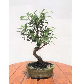 "Bonsai, Golden Gate Ficus - Ficus Micropcarpa 6"""