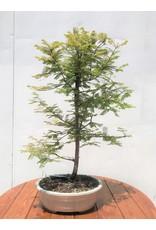 Bonsai, Dawn Redwood - Metasequoia Glyptostroboides