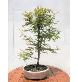 Bonsai, Dawn Redwood