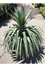 Yucca - Yucca Pendula - 15 Gallon