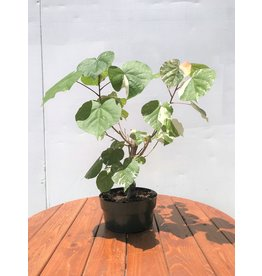 Bonsai, Sea Hibiscus Variegated - Small