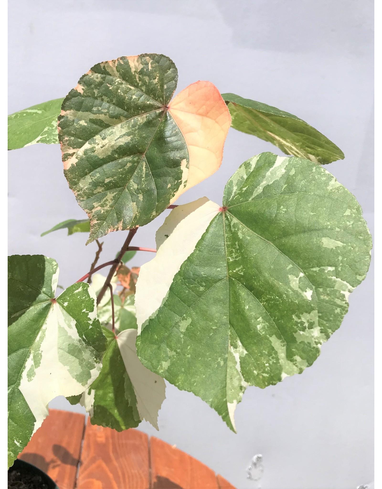 Bonsai, Sea Hibiscus Variegated - Hibiscus Tiliaceus - Small