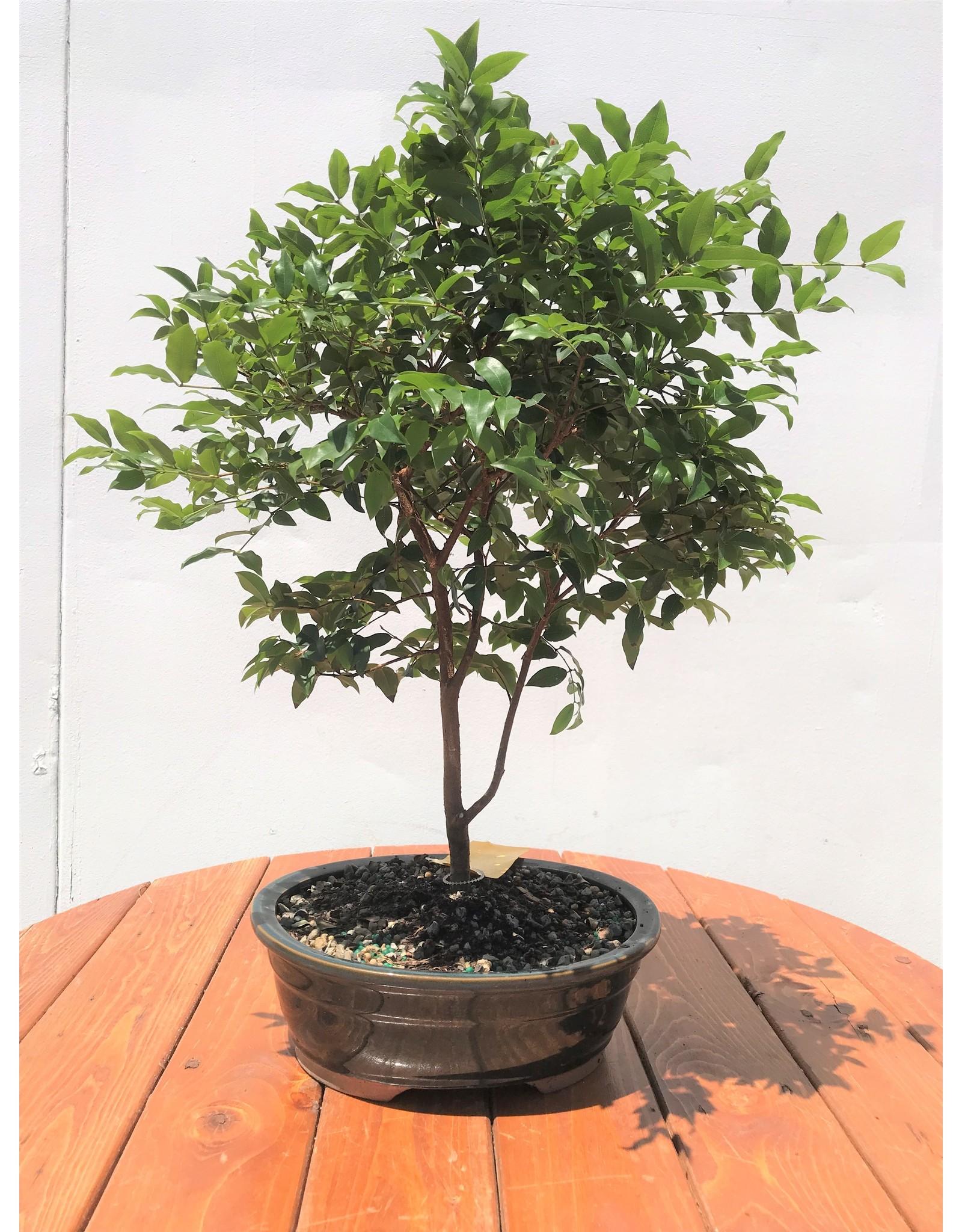 Bonsai, Jaboticaba - Plinia Cauliflora - Large