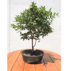 Bonsai, Jaboticaba - Large