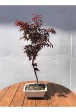Bonsai, Japanese Maple -  Acer Palmatum 'Atropurpureum'