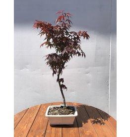 Bonsai, Japanese Maple - 'Atropurpureum'