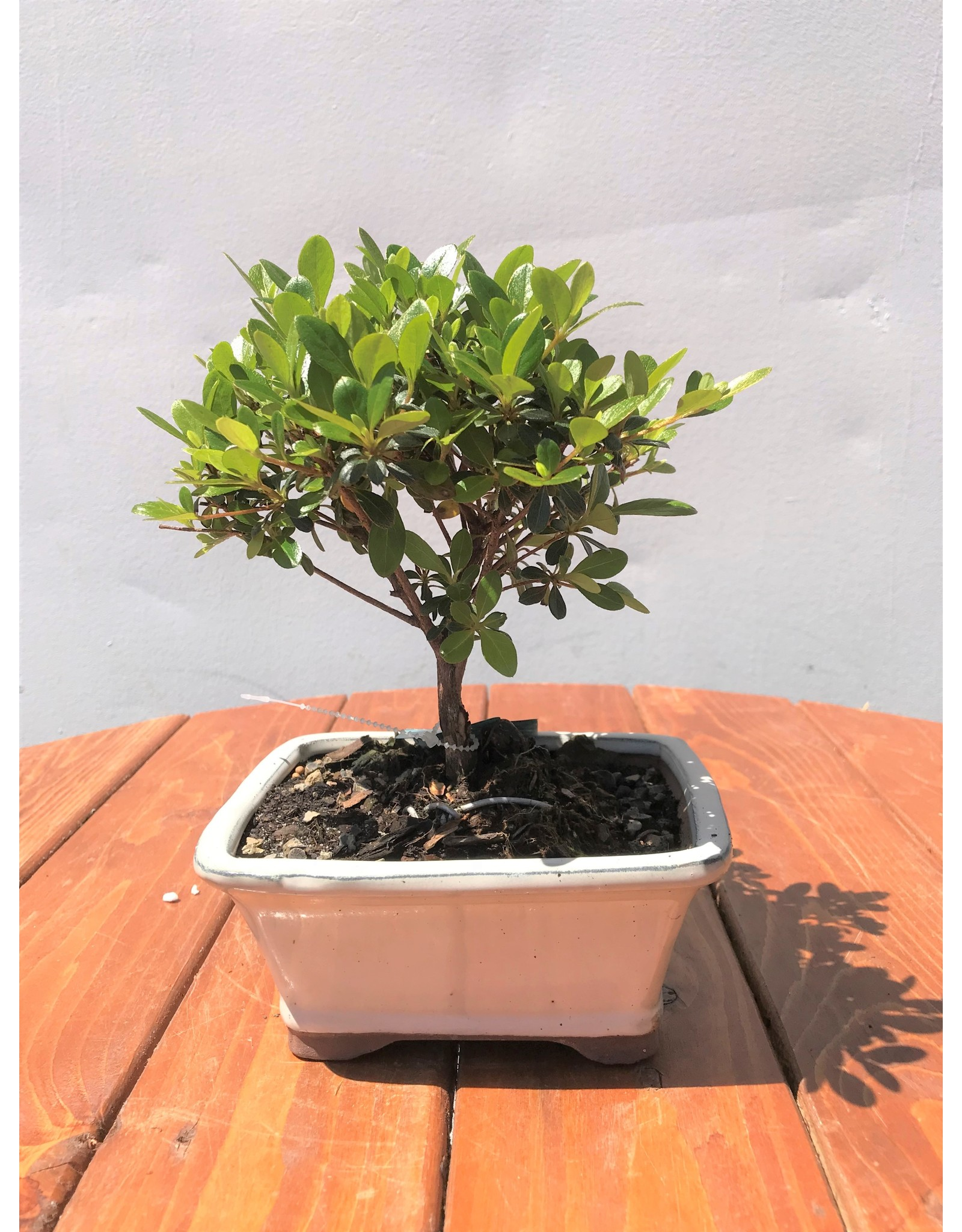 Bonsai, Satsuki Azalea - Rhododendron Indicum - Small