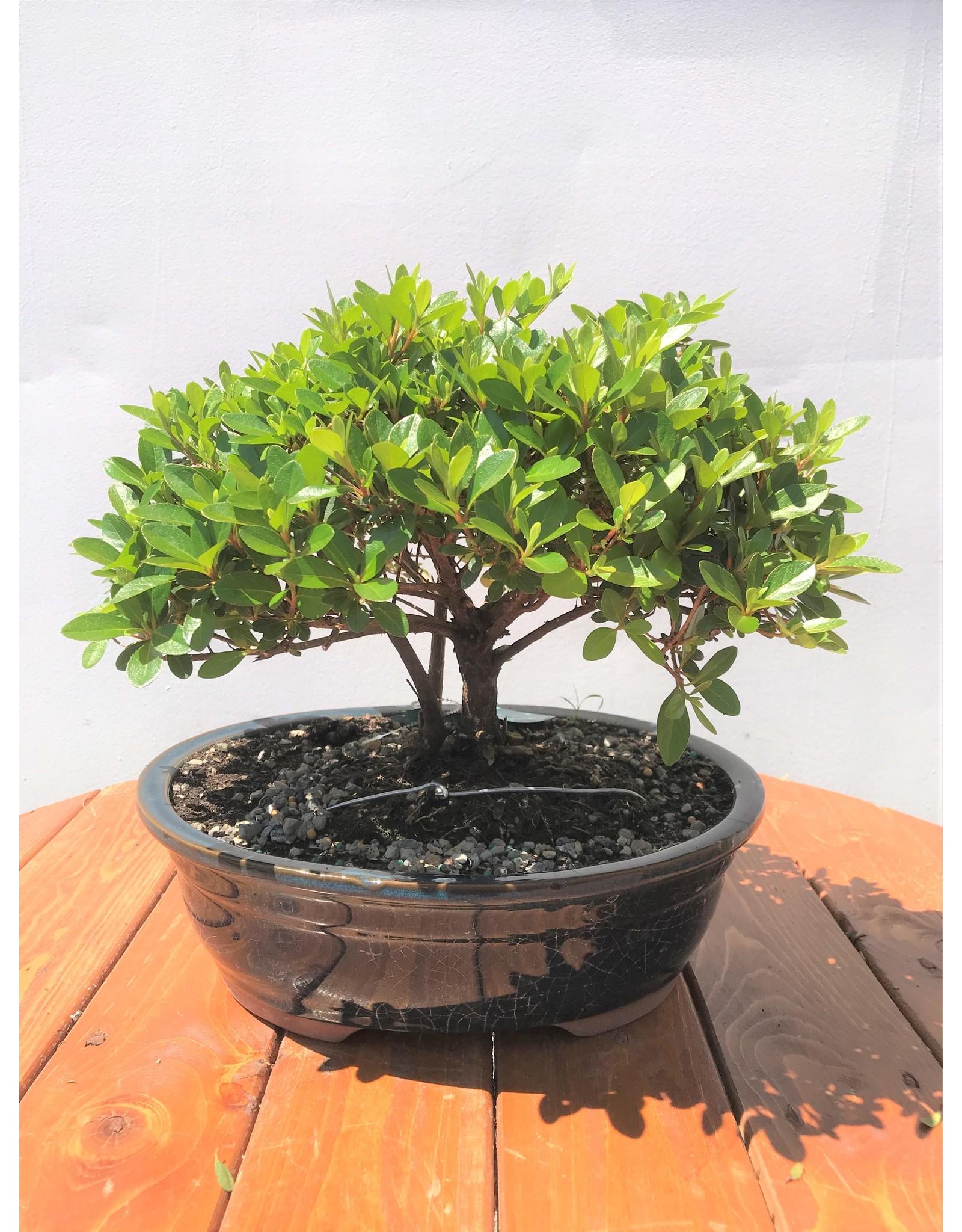 Bonsai, Satsuki Azalea - Rhododendron Indicum - Large