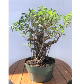 Bonsai, Ficus - 'Tiger Bark'  Large