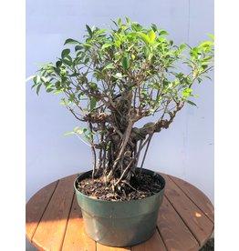 Bonsai, Ficus - 'Tiger Bark'  Large