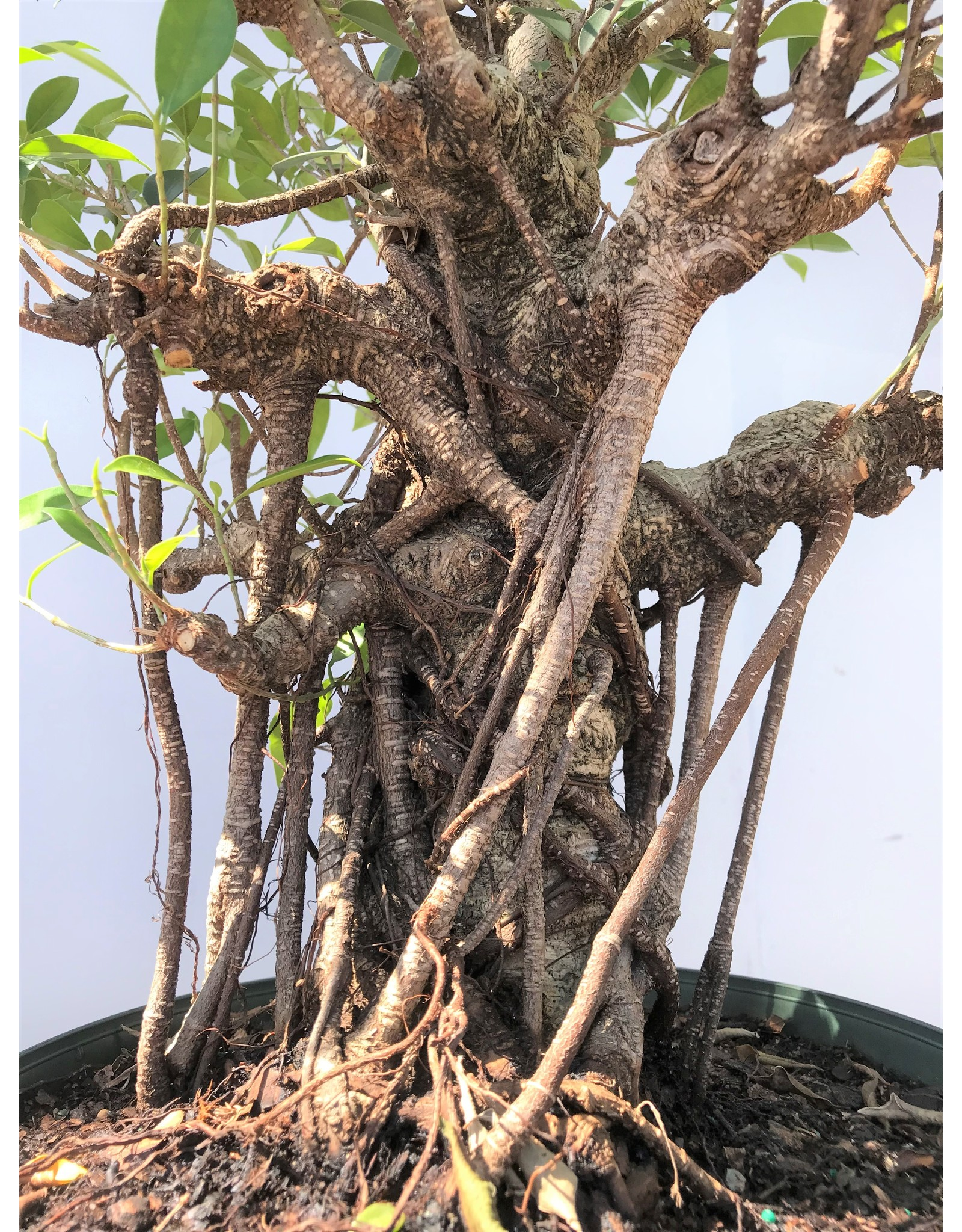 Bonsai, Ficus - Ficus Microcarpa 'Tiger Bark'  Large