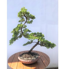 Bonsai, Green Mound Juniper - 'Nana'  12 yr