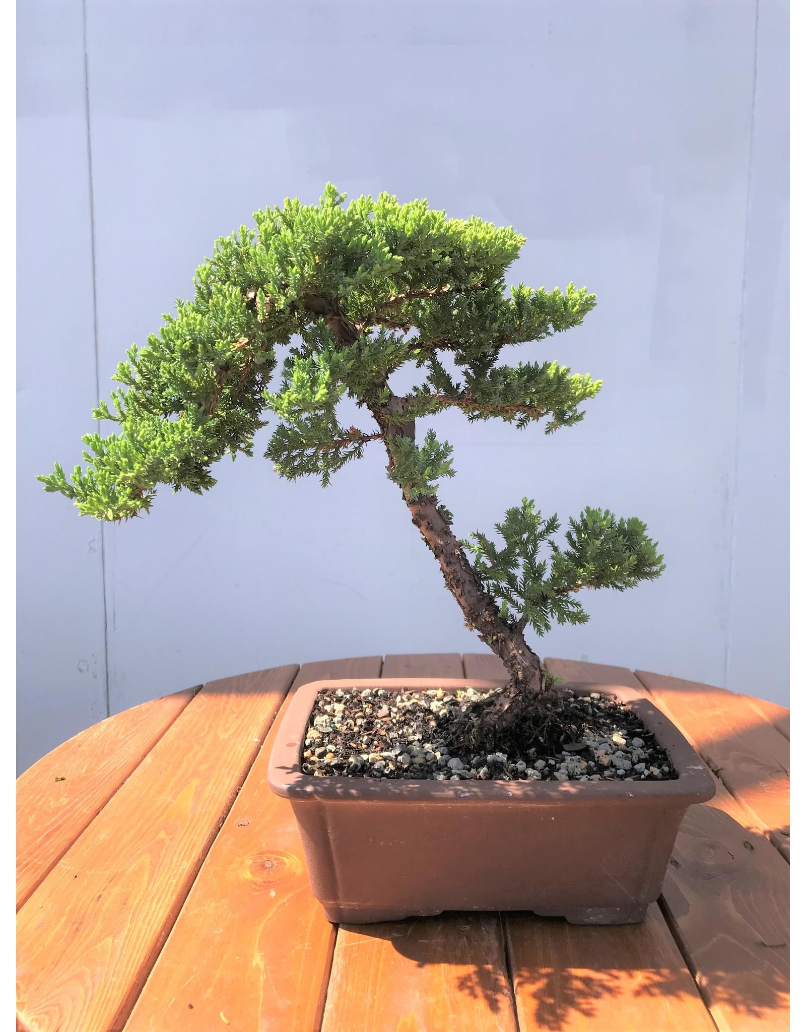 Bonsai, Juniper - Juniperus Procumbens nana 'Green Mound'