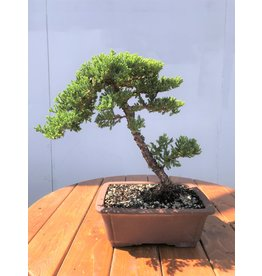 Bonsai, Juniper - Nana 'Green Mound'