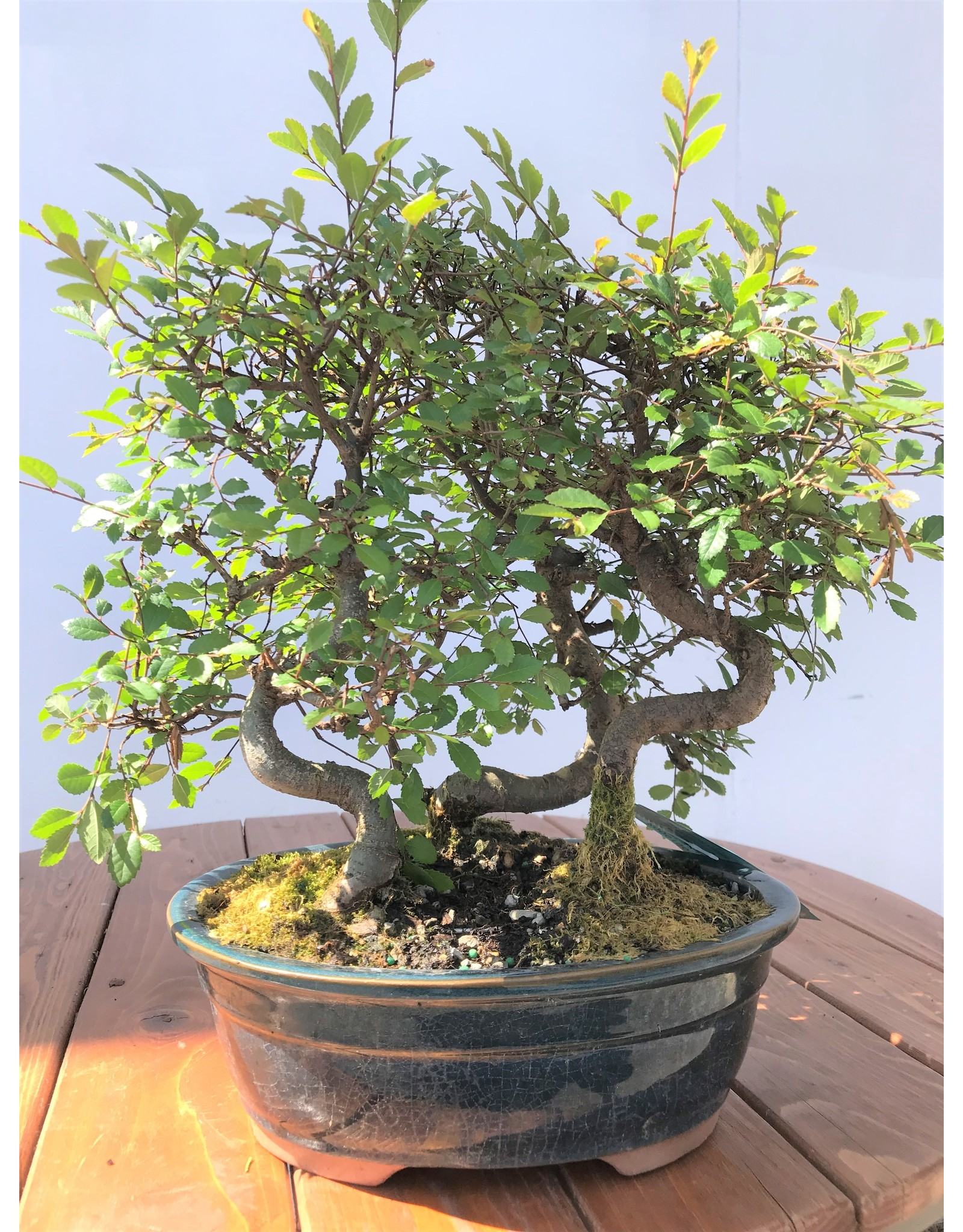 Bonsai, Chinese Elm Grove - Ulmus Parvifolia