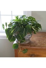 """Philodendron - Philodendron Hederaceum 'Brasil' 4"""""""