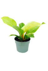 """Philodendron 'Moonlight' 6"""""""