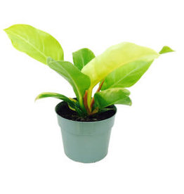 Philodendron 'Moonlight' 4""