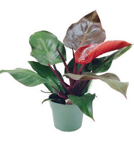 """Philodendron - 'McColley's Finale' 6"""""""