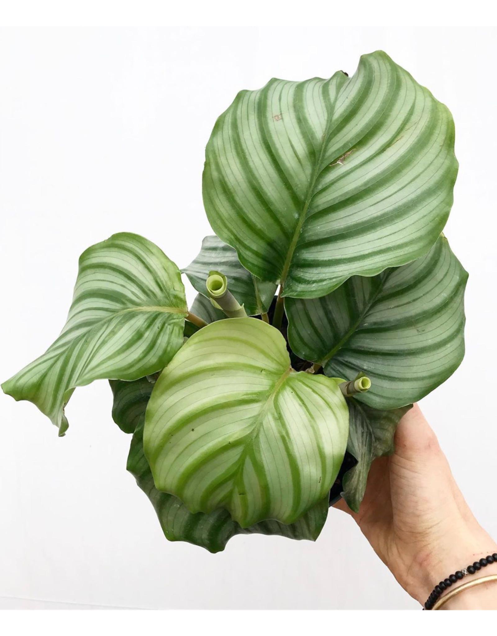 """Calathea - Orbifolia 6"""""""