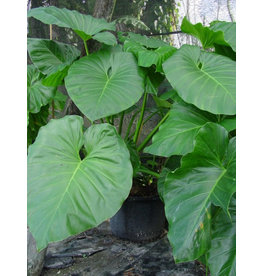 """Philodendron - Giganteum 6"""""""