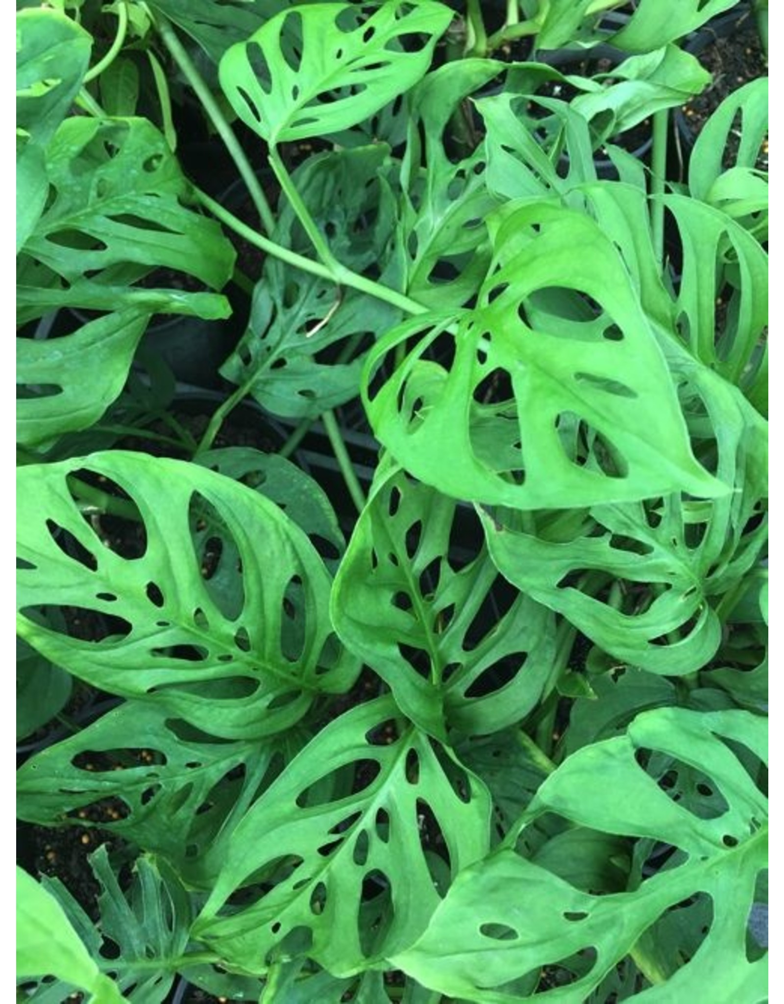"Swiss Cheese Plant- Monstera Adansonii 6"""